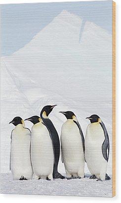 Emperor Penguins And Icebergs, Weddell Sea Wood Print by Joseph Van Os