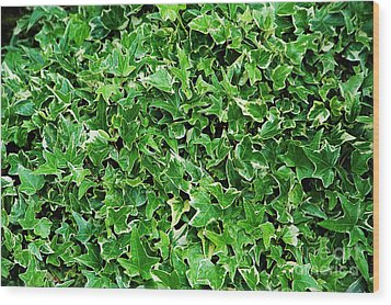 English Ivy (hedera Helix 'kolibri') Wood Print by Archie Young