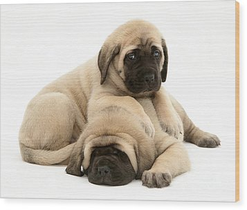 English Mastiff Puppies Wood Print by Jane Burton