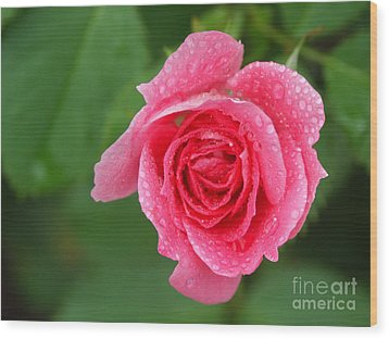 English Rose Wood Print by Bonnie Sue Rauch and Photo Researchers