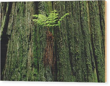 Epiphytic Fern Growing On Redwood Wood Print by Gerry Ellis