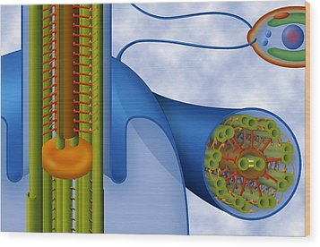 Eukaryotic Flagellum Structure, Artwork Wood Print by Art For Science