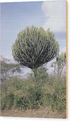 Euphorbia Candelabrum Wood Print by Adrian T Sumner
