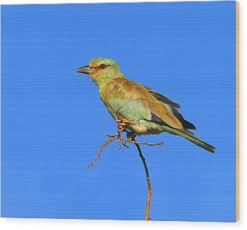 Eurasian Roller Wood Print by Tony Beck