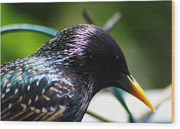 European Starling 2 Wood Print by Scott Hovind