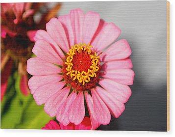 Wood Print featuring the photograph Fair Pink Zinnia by Paula Tohline Calhoun