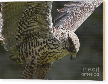 Falcon Taking Off Wood Print by Pravine Chester