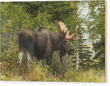Fall Bull Moose Wood Print