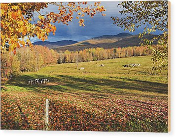 Fall Colours, Cows In Field And Mont Wood Print by Yves Marcoux