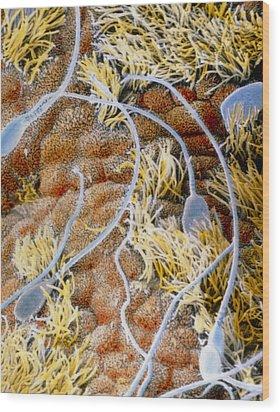False-colour Sem Of Sperm In The Uterine Cavity Wood Print by Professors P.m. Motta & J. Van Blerkom