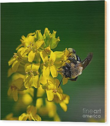 Fanfare For The Common Bumblebee Wood Print by Lois Bryan