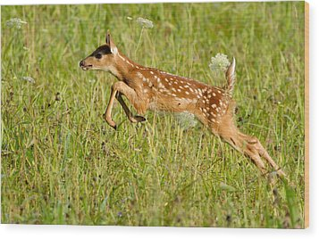 Fawn Bounce  Wood Print by Glenn Lawrence