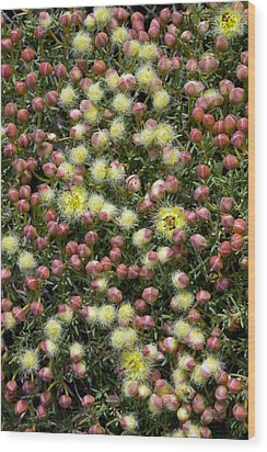 Featherflower (verticordia Brachypoda) Wood Print by Bob Gibbons