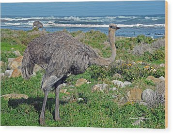 Feathers By The Sea Wild Female E African Ostrich Southern Race Cape Of Good Hope South Africa Wood Print by Jonathan Whichard