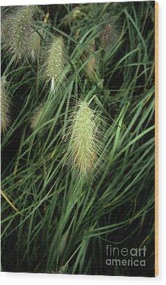 Feathertop Grass (pennisetum Villosum) Wood Print by Adrian Thomas