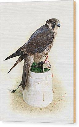 Feeding Falcon Wood Print by Paul Cowan