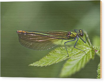 Female Banded Demoiselle Damselfly Wood Print by Dr Keith Wheeler
