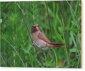 Female Cardinal - C5527a Wood Print by Paul Lyndon Phillips