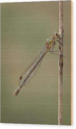 Female Emerald Damselfly Wood Print by Andy Astbury