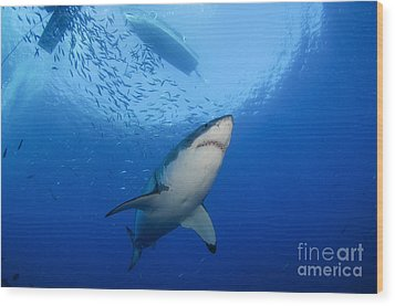 Female Great White, Guadalupe Island Wood Print by Todd Winner