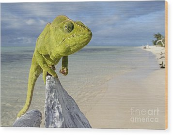 Female Oustalet's Chameleon Wood Print by Alex Rosenfield and Photo Researchers