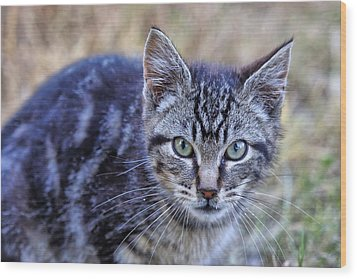 Feral Kitten Wood Print by Chriss Pagani
