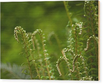 Ferns Fiddleheads Wood Print by Mike Reid