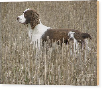 Field Bred Springer Spaniel Wood Print
