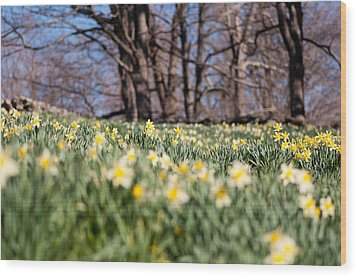 Field Of Daffodils Wood Print by Ron Smith