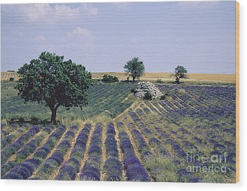 Field Of Lavender. Sault. Vaucluse Wood Print by Bernard Jaubert