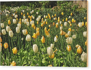Wood Print featuring the photograph Field Of Tulips by Helen Haw