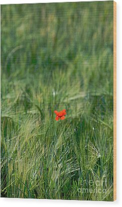 Field Of Wheat With A Solitary Poppy. Wood Print by Bernard Jaubert