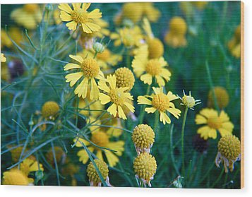 Field Of  Yellow Daisies  Wood Print by Ester  Rogers