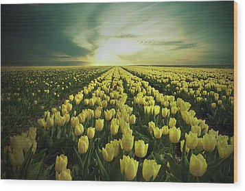 Field Of Yellow Tulips Wood Print by Maik Keizer