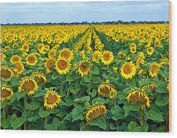 Field With Sunflowers In France Wood Print by Www.bluemoonfotografie.nl
