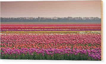 Field With Tulips Wood Print by Hans Engbers