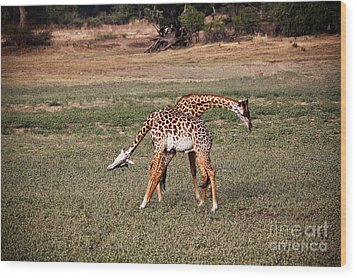 Fighting Giraffe Wood Print by Gualtiero Boffi