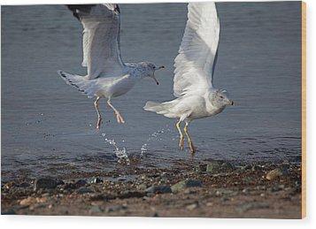Fighting Gulls Wood Print by Karol Livote