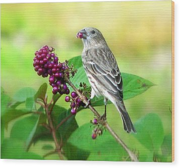 Finch Eating Beautyberry Wood Print