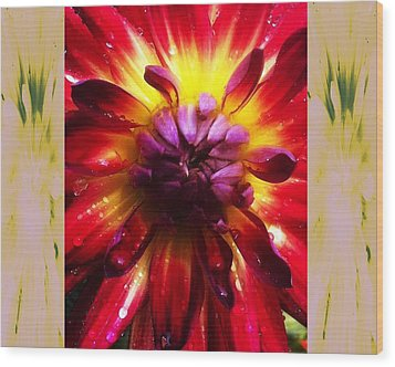 Firecracker Dahlia... Wood Print by Rene Crystal