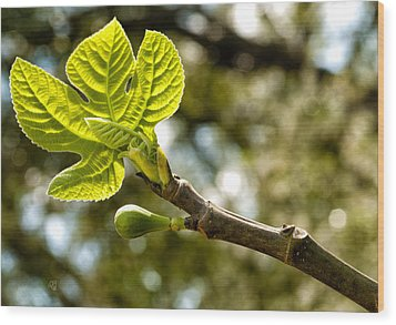 First Leaves And Fig  Wood Print by Barbara Middleton