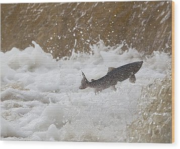 Fish Jumping Upstream In The Water Wood Print by John Short