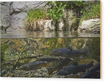 Fish Swimming In An Aquarium Wood Print by Todd Gipstein