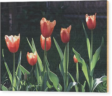 Wood Print featuring the photograph Flared Red Yellow Tulips by Tom Wurl