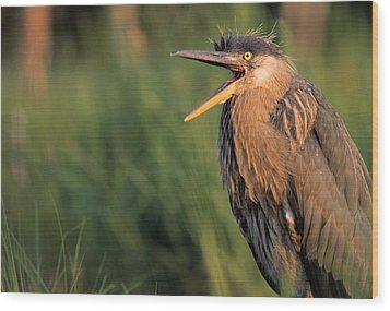 Fledgling Great Blue Heron Wood Print by Natural Selection Bill Byrne