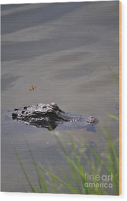 Florida Alligator  Wood Print