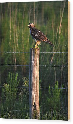 Florida Red-shouldered Hawk Wood Print by Ronald T Williams