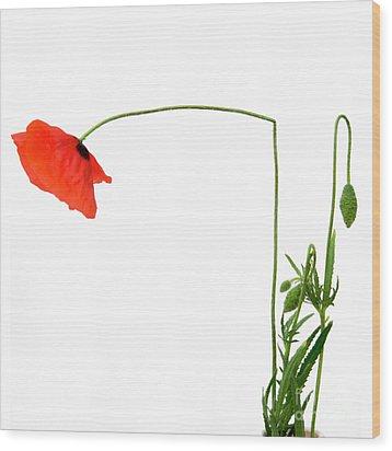 Flower Poppy In Studio. Papaver Rhoeas. Wood Print by Bernard Jaubert