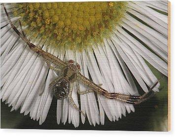Flower Spider On Fleabane Wood Print by Daniel Reed