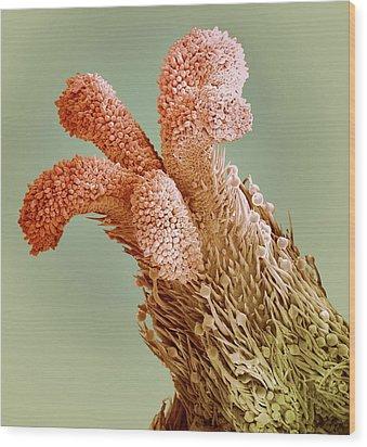 Flower Stigma, Sem Wood Print by Steve Gschmeissner